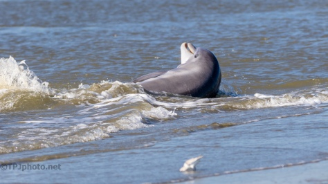 Dolphin, Strand Feeding - click to enlarge