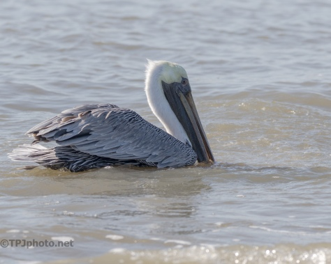 Letting Dolphins Do The Work, Pelican - click to enlarge