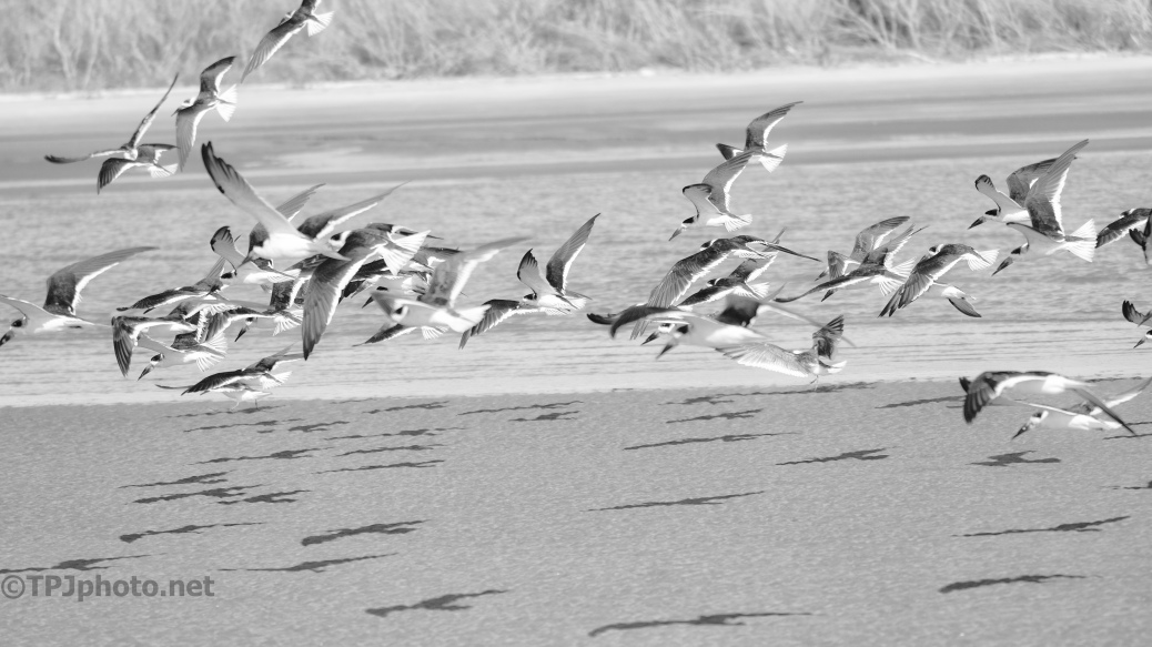 Skimmers In Black And White - click to enlarge