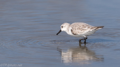 Busy Little Sanderling - click to enlarge