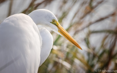 Great Egret Up Close - click to enlarge
