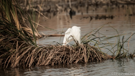 Snowy Egret In Dry Marsh Grass - click to enlarge