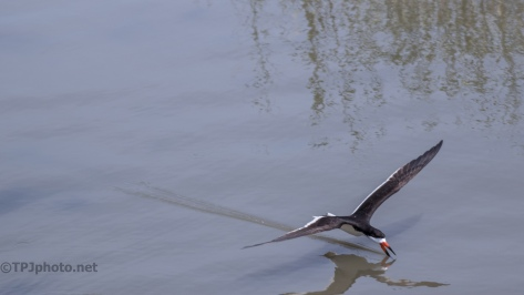 Black Skimmer, Skimming - click to enlarge