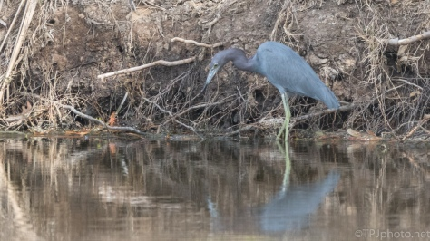 Little Blue Heron, A Welcome Sight - click to enlarge
