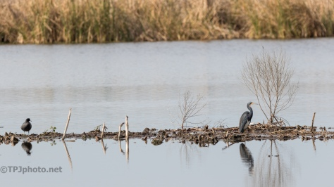 Marsh, Mud, Tricolored Heron - click to enlarge