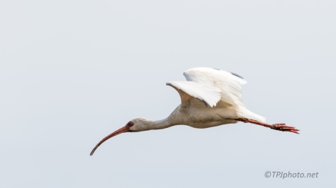 Fly By, White Ibis - click to enlarge