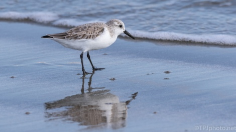 Sanderling Digging Around - click to enlarge
