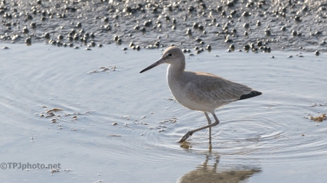 Willet, Strutting In The Shallows - click to enlarge