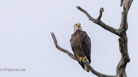 Bald Eagle, End Of Day - click to enlarge
