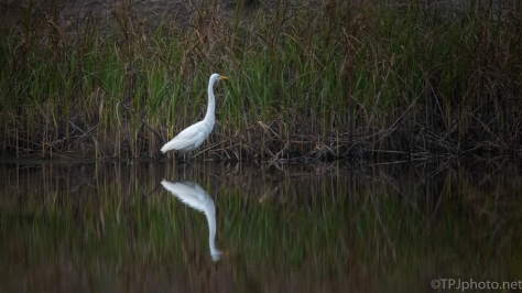 Great Egret, Some Grass Is Still Green - click to enlarge