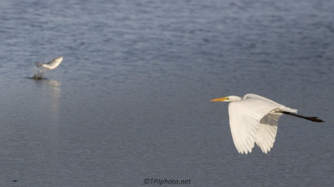 Perfect Planning, Egret - click to enlarge