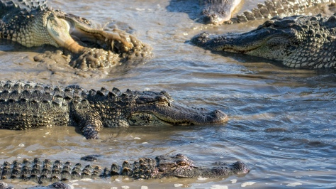 Group Of Alligators, Up Close - click to enlarge