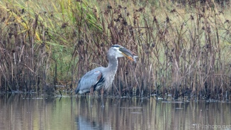A Fishing Story, Heron - click to enlarge