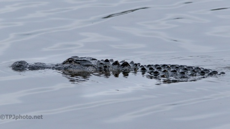 Alligators, Can't Forget Them - click to enlarge