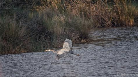 Marsh In Flight, Heron - click to enlarge