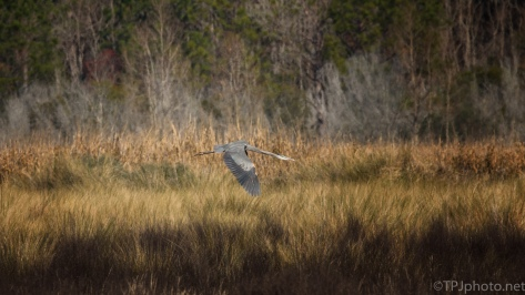 Great Blue Passing Through A Marsh - click to enlarge