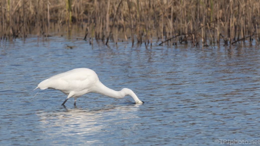 Great Egret Hunting By A Marsh - click to enlarge