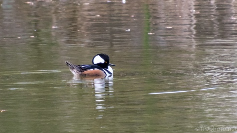 Hooded Merganser - click to enlarge