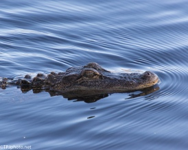 Great Light For An Alligator - click to enlarge