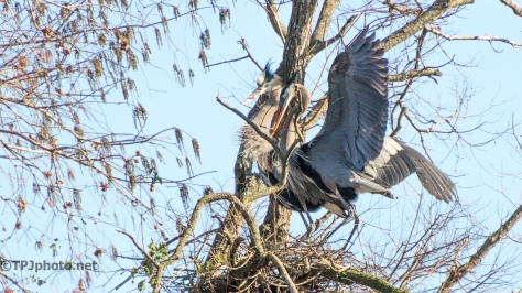 A Mated Pair, Herons - click to enlarge