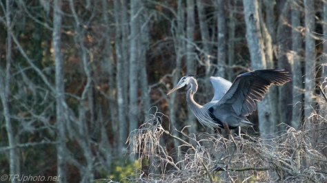 Yes, Dragons Do Exists, Great Blue Heron - click to enlarge