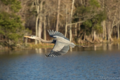 Golden Hour, Great Blue Heron - click to enlarge