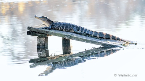 Lookin Good, Alligator - click to enlarge