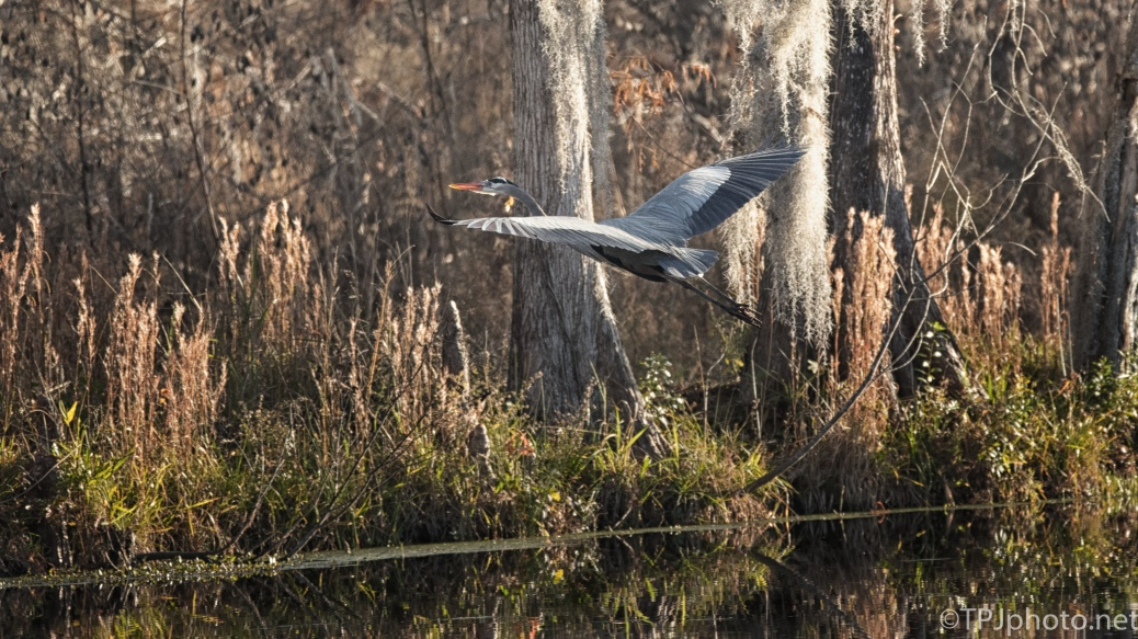 Heron Leaving The Swamp - click to enlarge