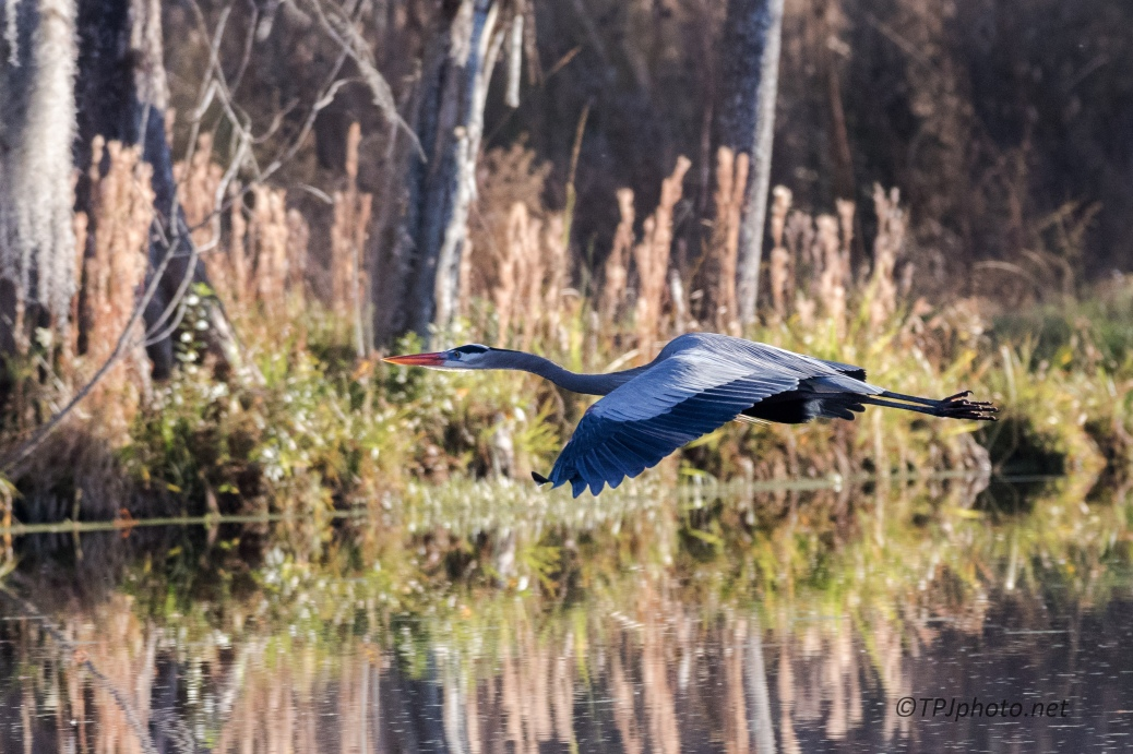 Great Blue Heron, Fly By - click to enlarge