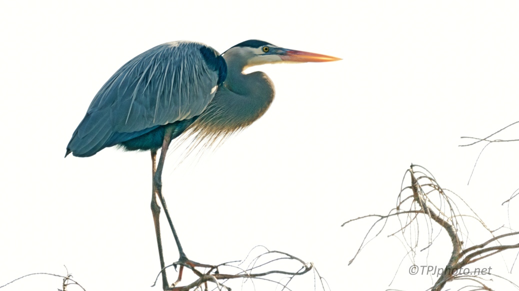 Great Blue In Morning Glare - click to enlarge