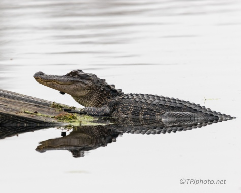 Winter Gators - click to enlarge