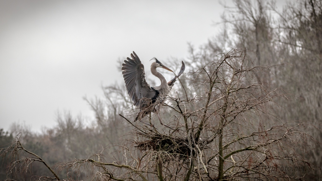 A Wet Morning, Great Blue Heron - click to enlarge