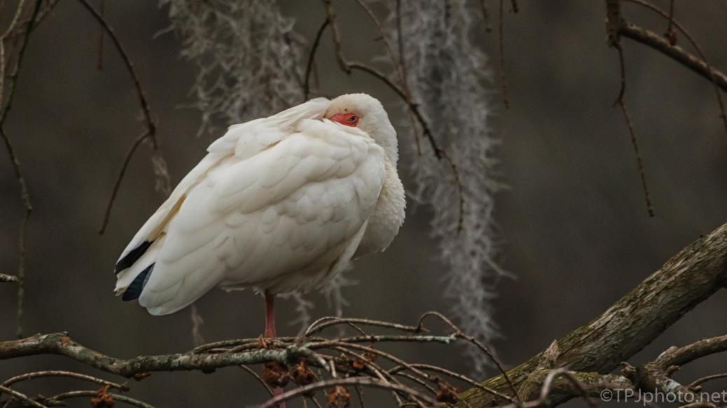 White Ibis, Half Asleep - click to enlarge