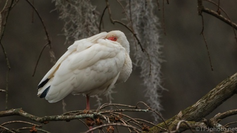 White Ibis, Half Asleep - click to enlarge