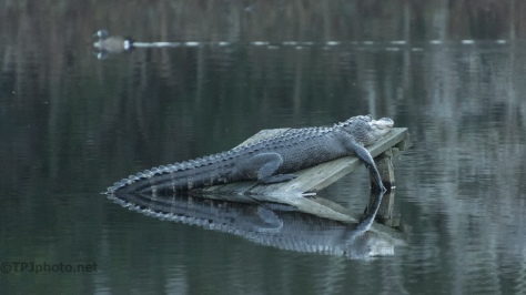 Just Makes Me Laugh, Alligator - click to enlarge