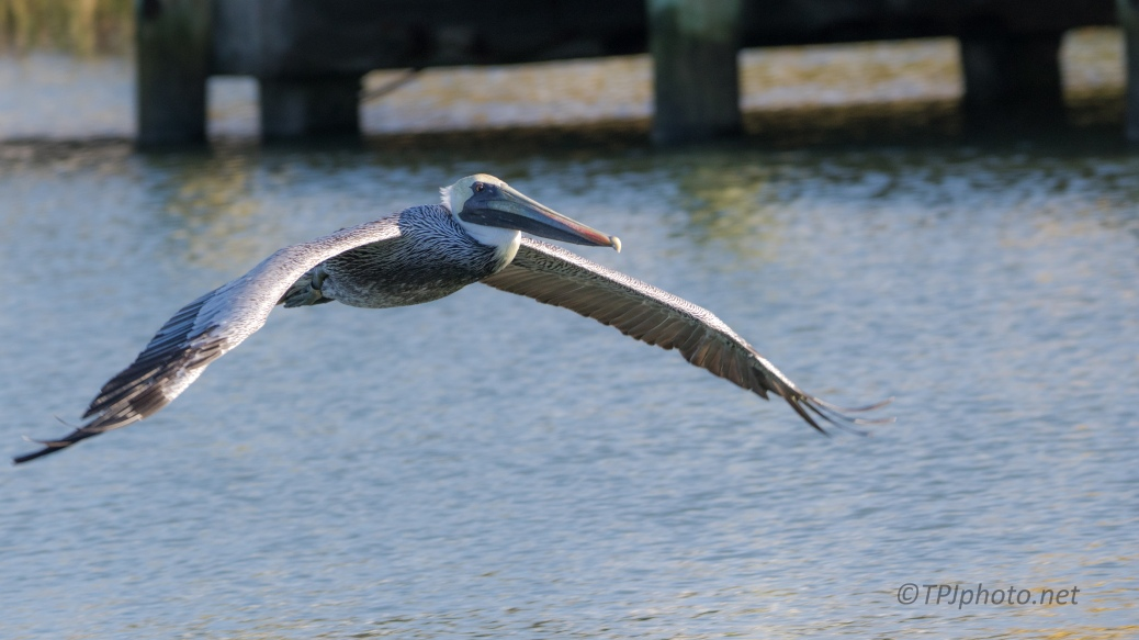 A Brown Pelican - click to enlarge