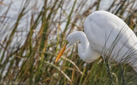 Stalking, Great Egret - click to enlarge