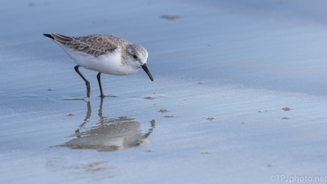 Sanderling Sifting Through The Surf - click to enlarge