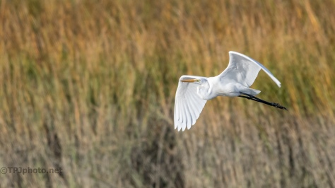 Great Egret Over Marsh Grass - click to enlarge