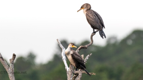 Double-crested Cormorant - click to enlarge