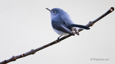 Blue-gray Gnatcatcher Portrait - click to enlarge