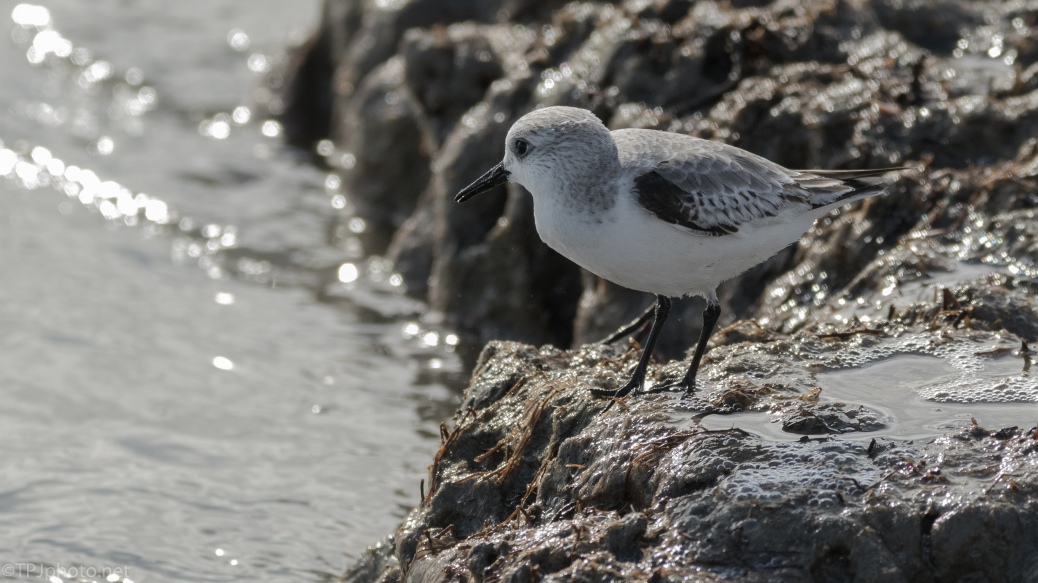 Sanderling On Shore - click to enlarge