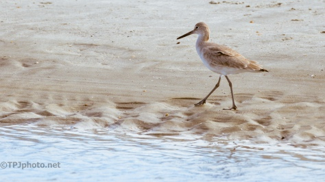 Willet At A Tidal Pool - click to enlarge