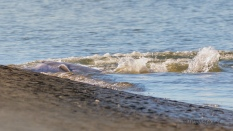 Dolphin With A Difficult Stranding - click to enlarge