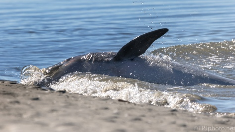 Dolphin, Right Spot For Strand Feeding Photographs - click to enlarge