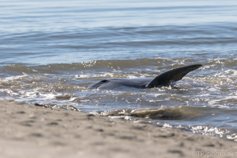 A Strand Feed, Herding Fish, Dolphin - click to enlarge
