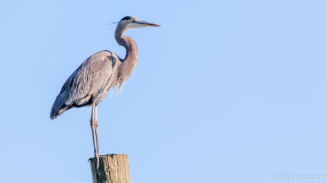 Great Blue Heron, On A River - click to enlarge