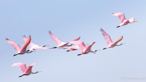 Late Season Spoonbills - click to enlarge