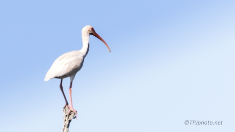 Perfect Balance, White Ibis - click to enlarge