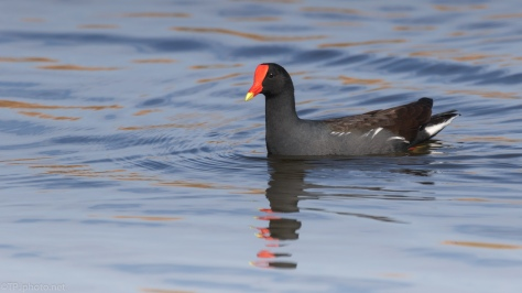 Gallinule Portrait - click to enlarge